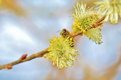 Bee on the Spring willow Stock Photo