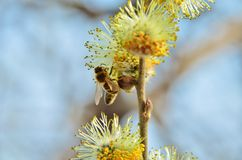 Bee on the Spring willow Royalty Free Stock Photos