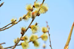 Bee on the Spring willow Royalty Free Stock Images