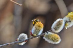 Bee on the Spring willow Stock Image