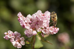 Bee standing on pink flowers of persicaria Royalty Free Stock Photos