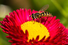 Bee staying in a flower. Bee staying in bud of a red flower Royalty Free Stock Photography