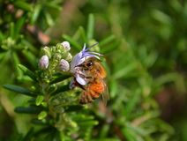 Honeybee on a stem of light purple flowers Royalty Free Stock Photography