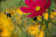Free Bee Still Royalty Free Stock Photography - 33175707
