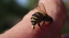 Bee Sting - a weapon of defense and attack.