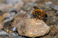 Bee on stone. Royalty Free Stock Images