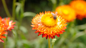 Bee on the Straw flower. In Nature Royalty Free Stock Photography