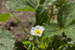 Bee and strawberry plants. Stock Photography