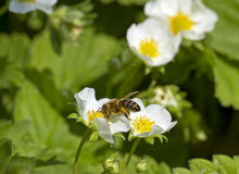 Bee on strawberry plants. Stock Photos