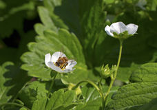 Bee on strawberry plants. Stock Image