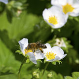 Bee on strawberry plants. Stock Photography