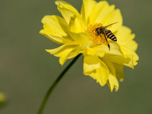 The bee is streching her leg while she is working with the polle Royalty Free Stock Photos