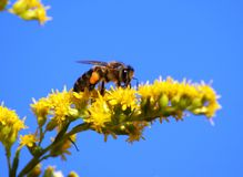 Bee, striped, yellow, flower Stock Images