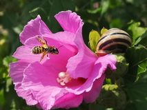 Pollen covered bee with a snail stock images