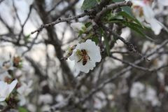A bee suck nectar from almond tree flower. In Modiin, Israel Royalty Free Stock Photos