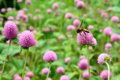Bee sucking amaranth Royalty Free Stock Photos