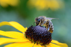 Bee sucking on flower. Bee sucking on yellow flower Royalty Free Stock Photos