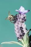 Bee Sucking Lavander Stock Photos