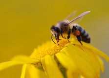 Bee sucking nectar. A bee sucking nectar of the flower in spring Stock Photos