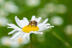 Bee sucking a nectar from daisy flower Stock Photo