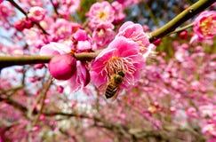 Bee sucking nectar Stock Image