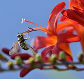 Bee is sucking nectar from red  flowers in the graden Stock Photography