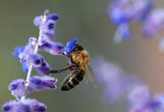 Bee sucking nectar. A bee sucking nectar of the violet flower in spring Stock Image