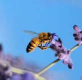 Bee sucking nectar. A bee sucking nectar of the violet flower in summer Stock Photo