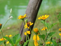 Bee is sucking nectar. Stock Photos