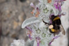 Bee while sucking pollen from flower Royalty Free Stock Photography