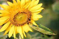 Bee sucking pollen from a sunflower on sunny day Royalty Free Stock Photo