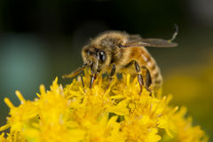 Bee while sucking pollen Stock Images