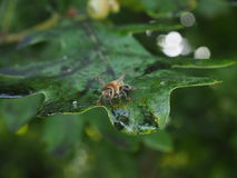 Bee sucking sticky glucose syrup from oak tree leaf Stock Images