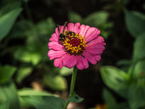 Bee on a Sulfur Cosmos Stock Photography