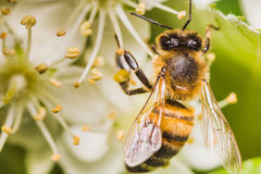 Bee. On summer blossoming mountain ash Royalty Free Stock Photo