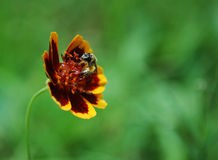 A Bee and Summer Flower Royalty Free Stock Photography