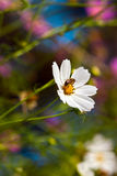 Bee on summer flower. Bee on white summer cosmos flower Stock Image