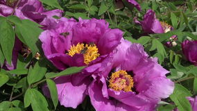 Bee in  summer  peony blossom stock video