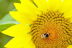 Bee & Sun Flower Royalty Free Stock Photos