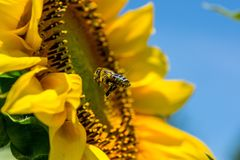 Bee, Sun Flower, Yellow, Busy Bee Stock Photography