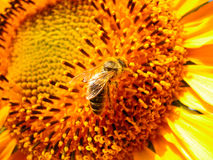 Bee on a sunflower. Bee on a sunflower, fiery colors Stock Photos