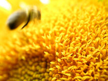 Bee and sunflower 1. The landing stock images