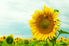 Bee on sunflower. Bee sitting on sunflower in the field Stock Images