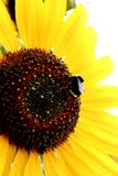 Bee on a Sunflower. A bumble bee sipping the nectar of a bright yellow summer sunflower Stock Images