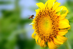 Bee and sunflower Royalty Free Stock Photo