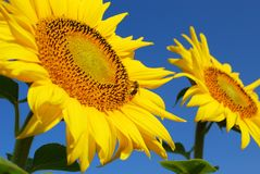 Bee on sunflower. Summer scene with bee on sunflower Stock Images