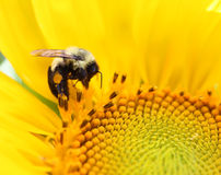 Bee on a sunflower. Bee on a yellow sunflower Royalty Free Stock Photography