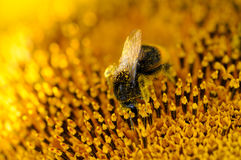 Bee and sunflower Stock Photography