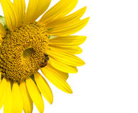Bee on sunflower Stock Images
