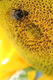 Bee sunflower Royalty Free Stock Photography